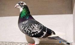 Gołębie Pocztowe, rasowe.